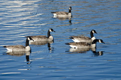 Flock av gäss som vilar på vinter en sjö Royaltyfria Foton