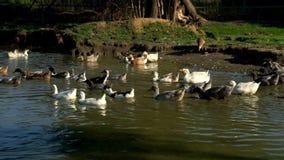 Flock av gåsen och änder som skriver in i vattendammet på hönseri Vattenfågelfåglar lager videofilmer