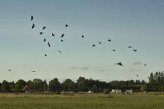Flock av galanden som flyger över afrmland (corvusen) Royaltyfria Foton