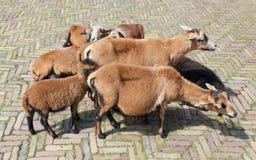 Flock av getter Royaltyfri Foto