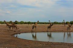 Flock av giraff royaltyfria foton