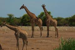 Flock av giraff arkivfoton