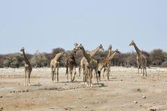 Flock av giraff, Etosha nationalpark, Namibia fotografering för bildbyråer