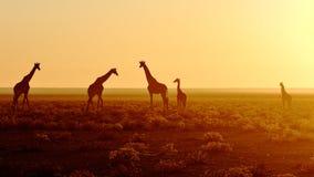 Flock av giraff på soluppgång arkivbild