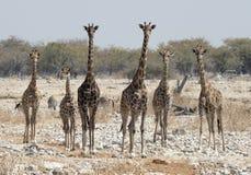 Flock av giraffet arkivfoto