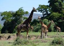 Flock av giraffet på Kilimanjaro monteringsbakgrund i nationalpark av Kenya, Afrika Royaltyfria Bilder