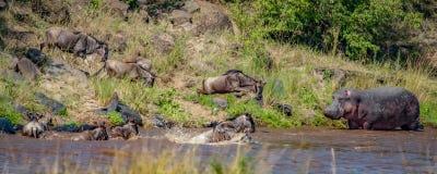 Flock av gnu bråttom som korsar Nile River nära en flodhäst under honom gnuflyttning royaltyfria bilder
