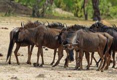 Flock av gnu på de Hwange slättarna royaltyfri foto