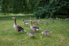 Flock av grågåsgäss som betar i London Hyde Park Fotografering för Bildbyråer