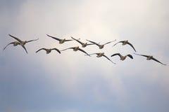 Flock av grågåsgåsen Arkivfoton