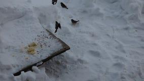Flock av gråsparvar som äter korn och flugan runt om förlagematare stock video