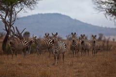 Flock av Grevys sebra Royaltyfri Foto