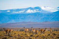 Flock av guanacos fotografering för bildbyråer