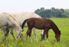 Flock av hästar arkivfoto