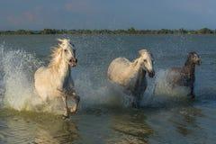 Flock av hästar royaltyfria foton