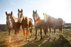 Flock av hästar Royaltyfri Bild