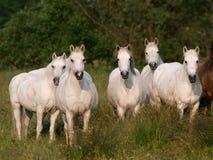 Flock av hästar fotografering för bildbyråer