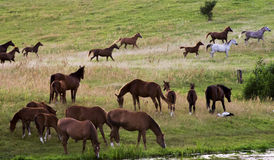 Flock av hästar royaltyfri foto