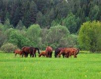 Flock av hästar Arkivbild