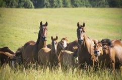 Flock av hästar Royaltyfria Bilder
