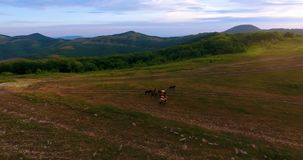 Flock av hästar i bergen på gryning arkivfilmer