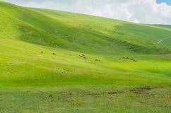 Flock av hästar i beta Arkivbilder