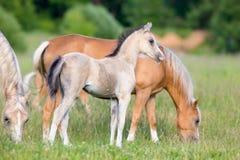 Flock av hästar i fält fotografering för bildbyråer