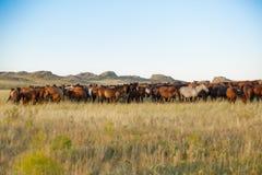 Flock av hästar i kazakhstäpp Arkivfoton