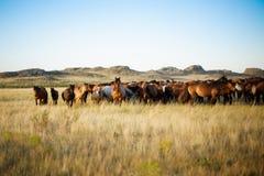 Flock av hästar i kazakhstäpp Arkivbilder
