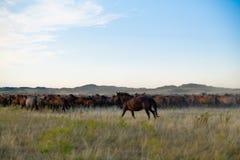 Flock av hästar i kazakhstäpp Royaltyfri Fotografi