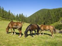 Flock av hästar i kullarna Royaltyfria Bilder