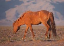 Flock av hästar i mongolianen Royaltyfria Bilder