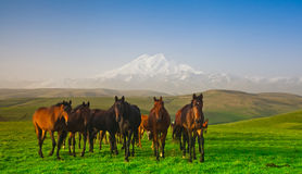 Flock av hästar på en beta i berg Royaltyfri Foto