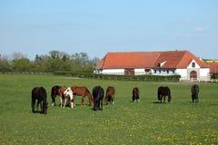 Flock av hästar på en hästlantgård royaltyfria foton