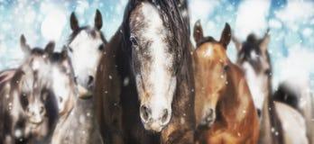 Flock av hästar på frostig vinterbakgrund med snönedgången royaltyfria bilder