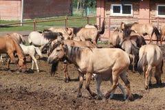 Flock av hästar på lantgården Arkivbild