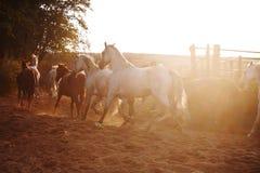 Flock av hästar på naturen i inställningssolen Djurfältbakgrund royaltyfri bild