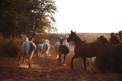 Flock av hästar på naturen i inställningssolen Djurfältbakgrund fotografering för bildbyråer