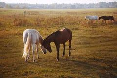 Flock av hästar på naturen i inställningssolen Djurfältbakgrund royaltyfria bilder
