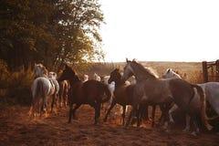 Flock av hästar på naturen i inställningssolen Djurfältbakgrund arkivbilder