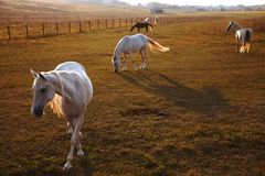 Flock av hästar på naturen i inställningssolen Djurfältbakgrund arkivbild