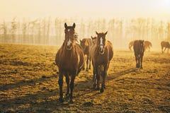 Flock av hästar på solnedgången arkivbilder