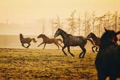 Flock av hästar på solnedgången arkivfoton