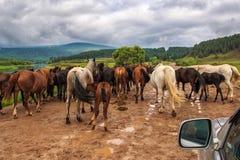 Flock av hästar på vägen royaltyfri bild