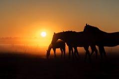 Flock av hästar som betar i ett fält på en bakgrund av dimma Arkivbilder