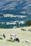 Flock av hästar som betar i fält Royaltyfri Bild