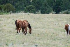 Flock av hästar som betar i fält Arkivbilder