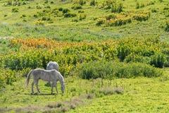 Flock av hästar som betar i fält Fotografering för Bildbyråer