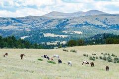 Flock av hästar som betar i fält Royaltyfria Bilder