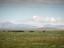 Flock av hästar som betar i stäppen, Mongoliet arkivbild